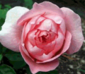 A Rose in your name-Name your own Rose
